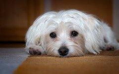 malattie del cane maltese