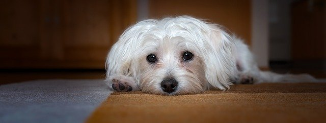 Malattie Del Cane Maltese Le Patologie Più Comuni Dogalize