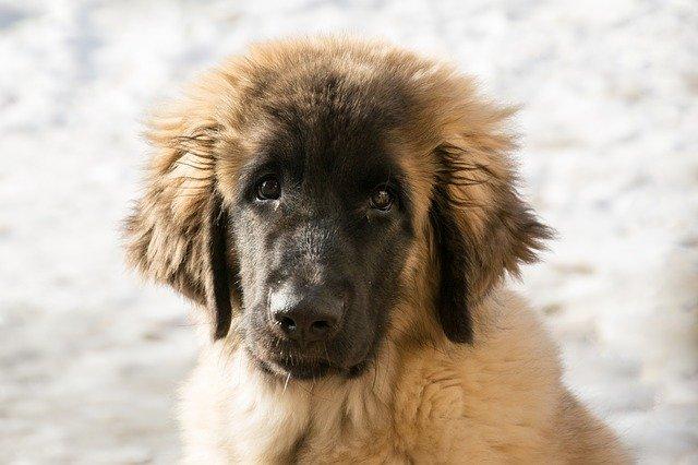 Razze cani: il cane Leonberger, carattere e caratteristiche