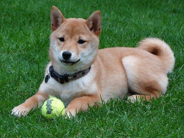 Razze cani: Shiba Inu, carattere e caratteristiche