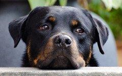 Malattie dei cani: parvovirosi nel cane, sintomi e terapia