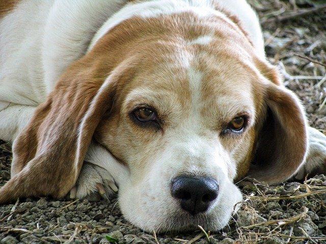Artrite reumatoide nel cane: cure, sintomi e cause