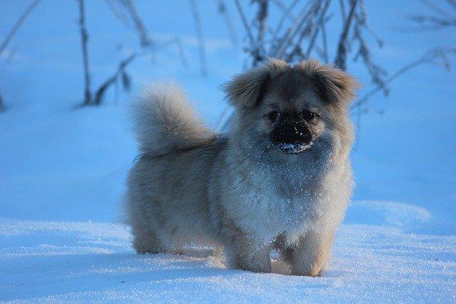 Razze cani: il cane Tibetan Spaniel, carattere e caratteristiche
