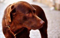 Cura del cane diabetico: alimentazione e consigli