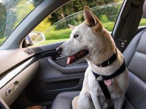 cane soffre il mal d' auto