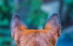 Cura delle orecchie del cane: come prevenire le patologie