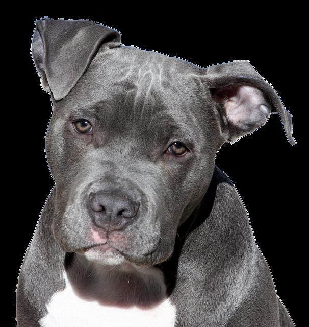 malattie del cane pitbull