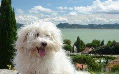 educazione del cane bolognese