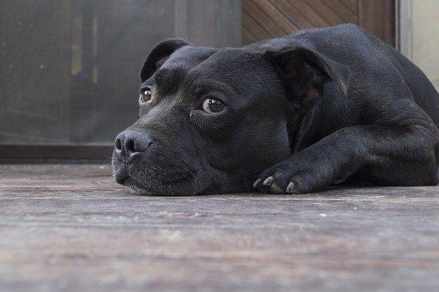 terapia cortisonica del cane