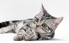 ¿ Cuál es la raza del gato de Whiskas ?