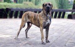 La raza de perro más peligrosa del mundo: ¿cuál es?
