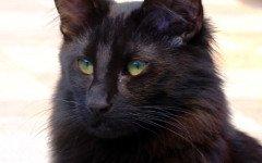 gatto norvegese nero