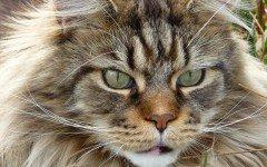 Gatto Maine Coon gigante: caratteristiche e cura