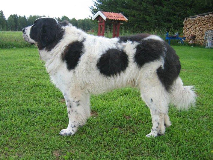 Razze cani: il mastino dei Pirenei, carattere e caratteristiche