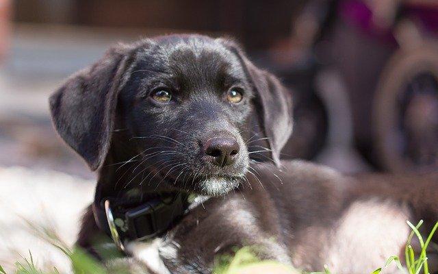 Cura del glaucoma nel cane: sintomi e trattamento