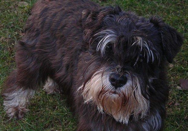 Razze cani: il cane Schnauzer Nano, carattere e caratteristiche