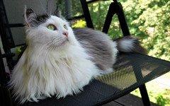 Gatto siberiano allergia: i motivi che lo rendono anallergico