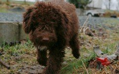 malattie del cane lagotto