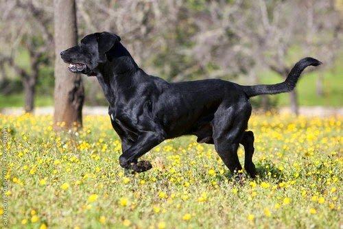 Razze cani: Cane da Pastore Maiorchino