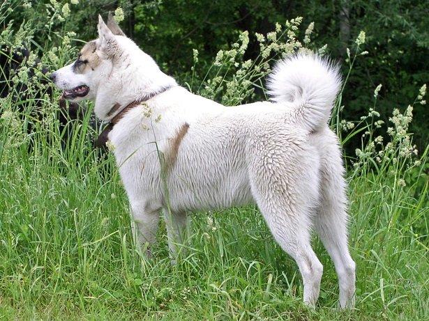 Razze cani: il Laika della Siberia Occidentale