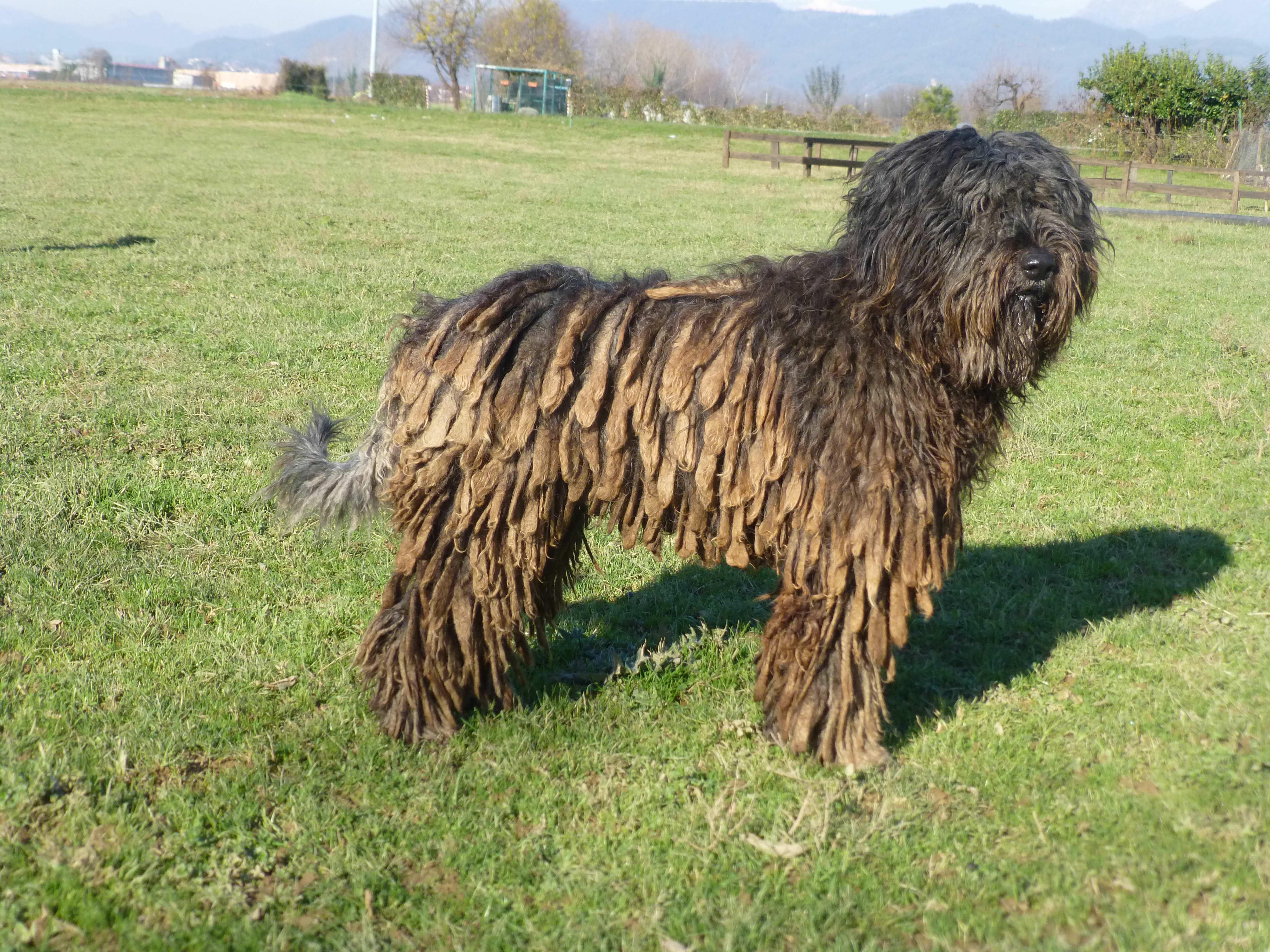 Razze cani: il cane da Pastore Bergamasco, caratteristiche