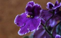 Violetta africana: effetti rinvigorenti su uomo e animali