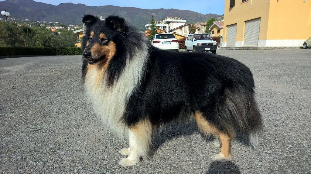 Razze cani: il cane da pastore scozzese a pelo lungo