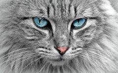 ¿ Cuál es la raza de gato más inteligente ? ¿Existe?