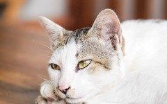 FUS nel gatto
