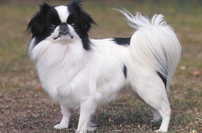Razze cani: il cane Chin, carattere e caratteristiche