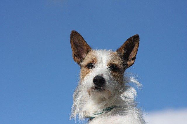 Razze cani: il podengo portoghese, carattere e caratteristiche
