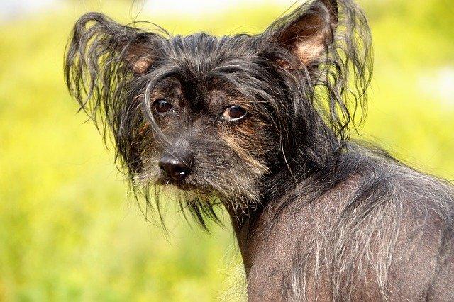 Razze cani: il cane Chinese Crested Dog