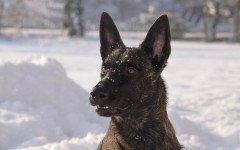 Razze cani: il pastore olandese, carattere e caratteristiche