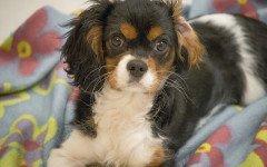 malattie del cane cavalier king