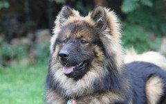 I cani abbaiano quando squilla un cellulare, perché?
