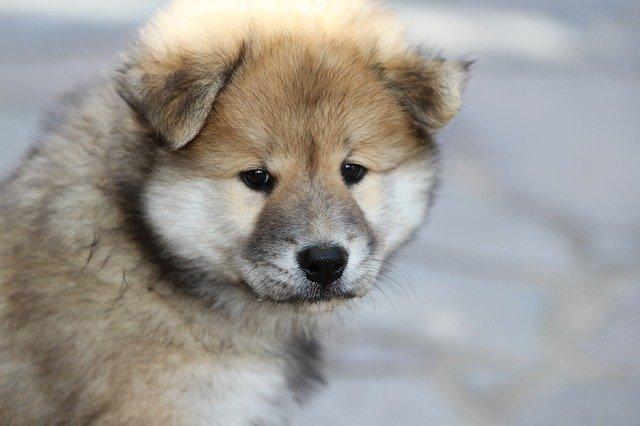 Razze cani: il cane Eurasier, carattere e caratteristiche