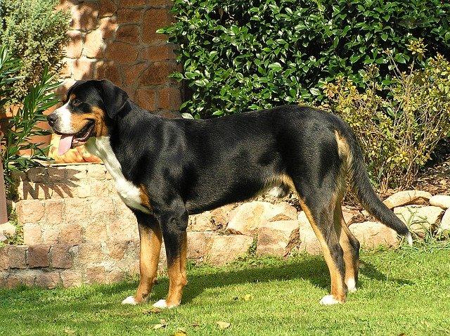 Razze cani: il Grande Bovaro Svizzero, carattere e caratteristiche