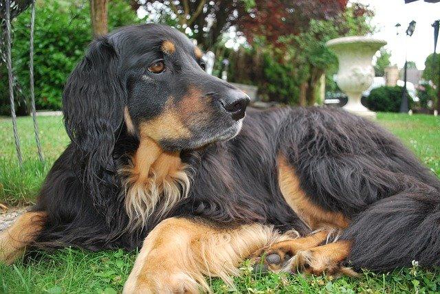 Razze cani: il cane Hovawart, carattere e caratteristiche