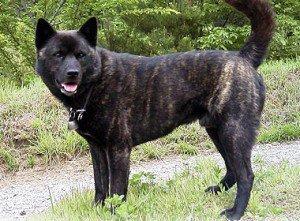 Razze cani: il cane Kai, carattere e caratteristiche