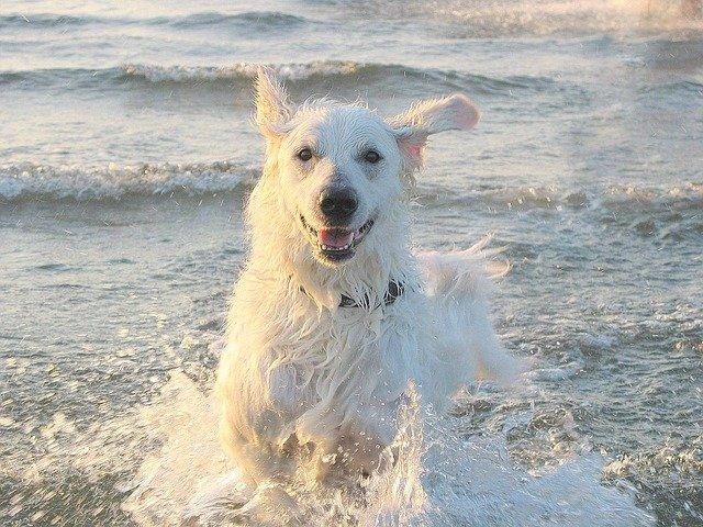 Razze cani: il cane Kuvasz, carattere e caratteristiche