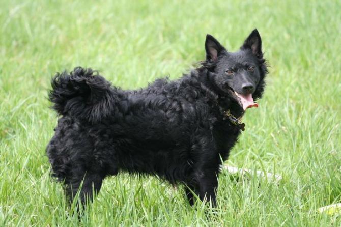 Razze cani: il cane Mudi