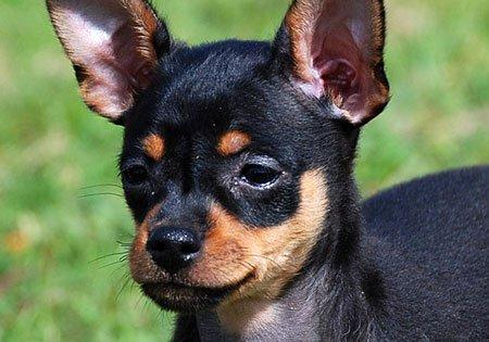 Razze cani: il cane Russian Toy, carattere e caratteristiche