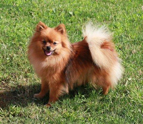 Razze cani: Spitz Allemand, carattere e caratteristiche
