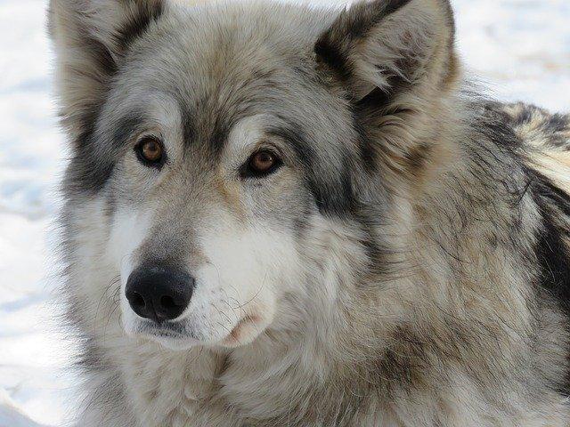 Malattie del Cane lupo Cecoslovacco: quali sono le più comuni?