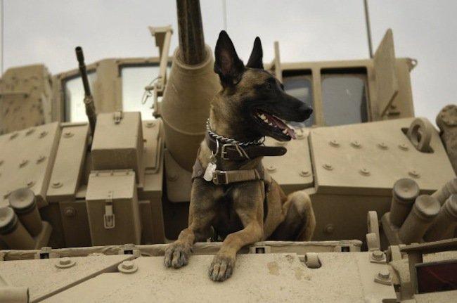 Raza del perro de la película Max: un perro luchador