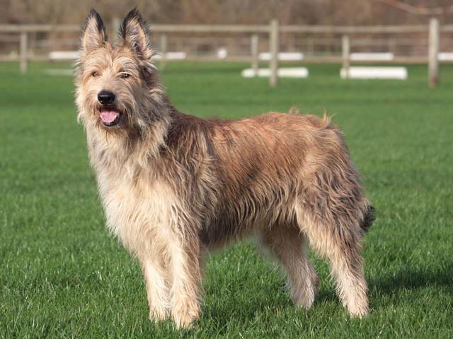 Razze cani: il Pastore di Piccardia caratteristiche