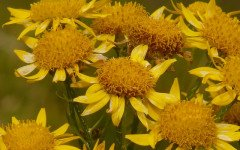 Árnica montana: una buena solución natural