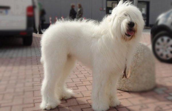 Razze cani: il cane da pastore romeno di Mioritza