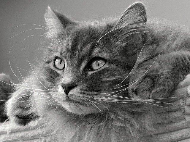 Gatto siberiano grigio: origini e caratteristiche
