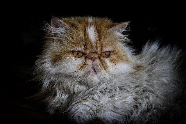 La raza de gato más bonita: ¿es posible saber cuál es?